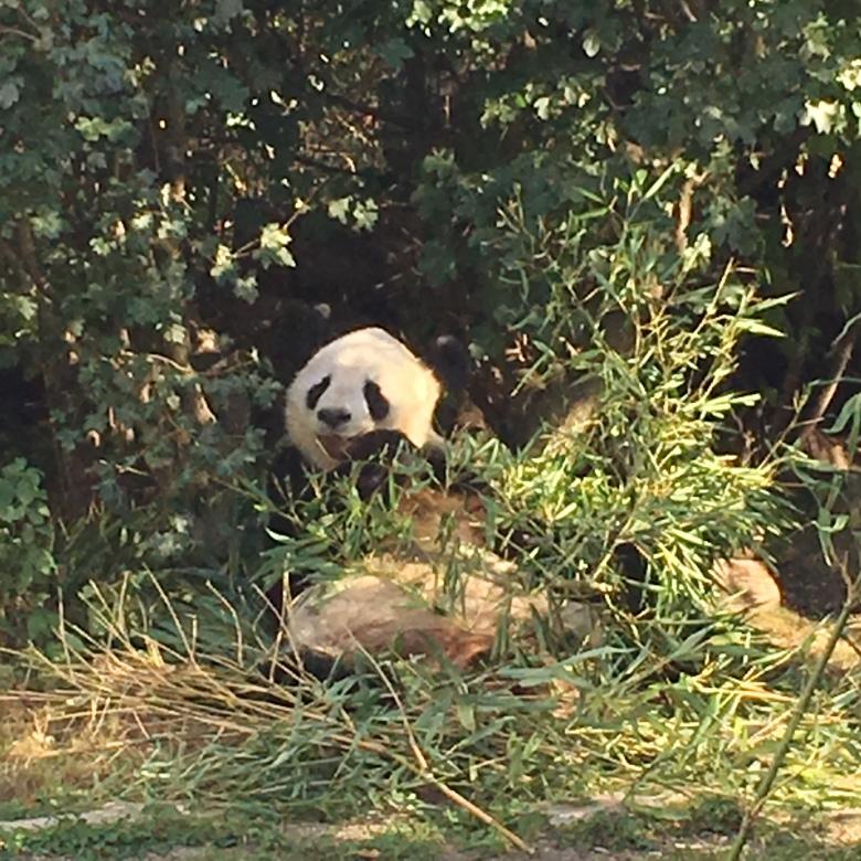 Panda at Tiergarten Schonbrunn - Zoo